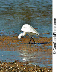 white egret control oneself in the marsh