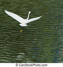 white egret extended its wings in flight