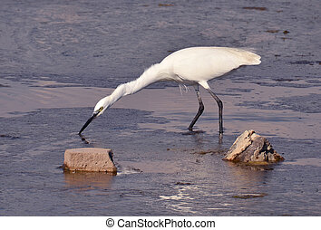 white egret feeding in the marsh at sunset