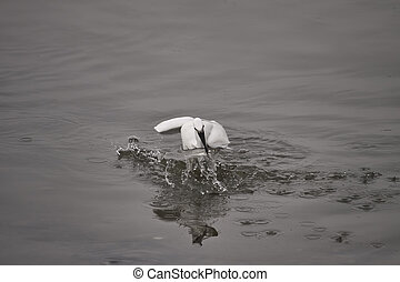 White egret fishing - White egret fishig a mullet from Douro...
