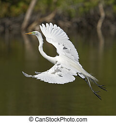 flight - white egret flight