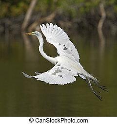 flight - white egret flight