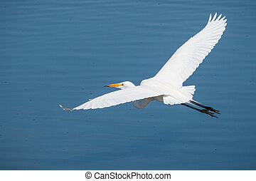 White egret flying over the blue water of a pond, San Francisco bay area, California