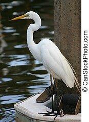 Giant white egret