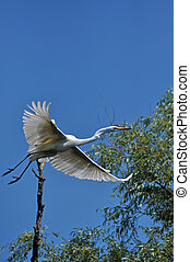 White egret, heron, Danube delta