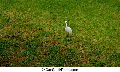 White Egret near lake - Great white Egret walk near bank of...