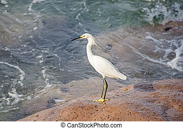 White egret on a rock