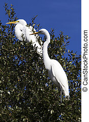 White Egret Resting in the Trees at Choke Canyon State Park...