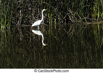 White Egret Standing In Water With Reflection