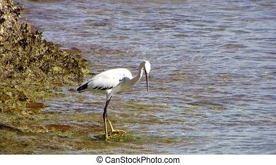 White egret - Egret hunts for fish in the water