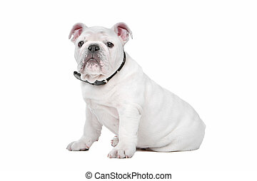 White English bulldog puppy in front of a white background