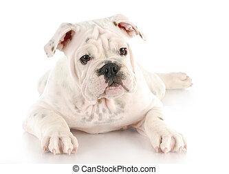 english bulldog puppy - white english bulldog puppy with ...