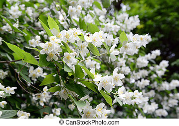 white English dogwood (Philadelphus coronarius) - English...
