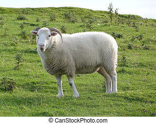 White Ewe with Horns