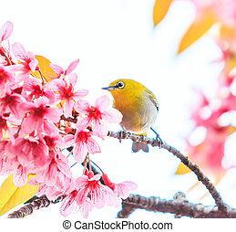 (white-eye, bird), blüte, kirschen, sakura, vogel