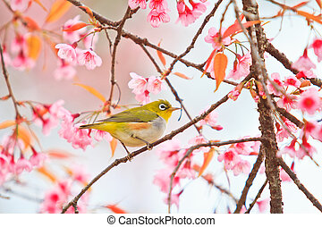 white-eye Bird on Cherry Blossom and sakura