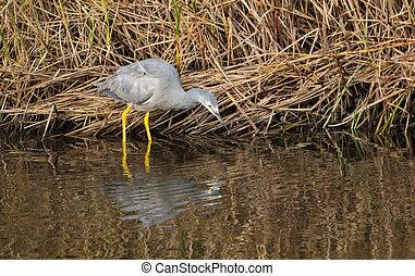 White-face Heron