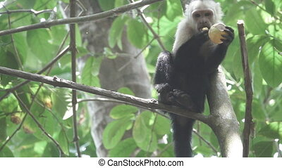 White face monkey eating in super slow motion