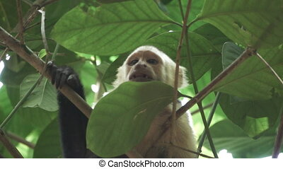 White face monkey looking to camera in super slow motion -...