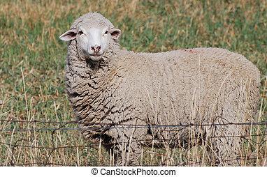 White face sheep