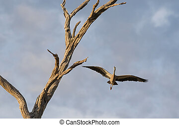 White faced heron, also called white-fronted heron, flying...