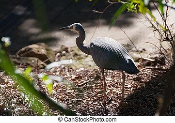 White-faced heron bird hunting in the wild. Australian ...