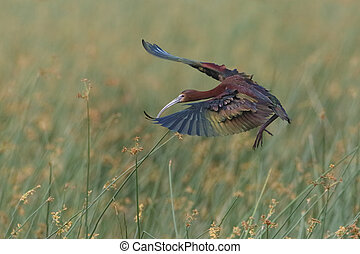 White-faced Ibis Landing in a Marsh - White-faced Ibis...