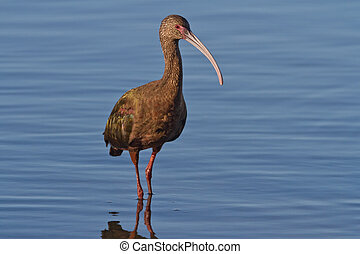 White-faced Ibis (Plegadis chihi) - White-faced ibis...