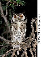 A white-faced owl (Outs leucotis) sitting in a tree, Kalahari desert, South Africa
