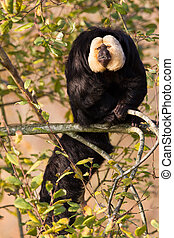 White-faced Saki (Pithecia pithecia) or also known as Golden-face saki monkey in a tree
