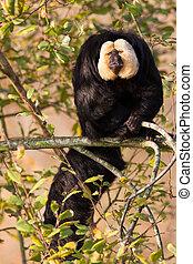 white-faced, saki, (pithecia, pithecia), ou, também, sabido, como, golden-face, saki, macaco, em, um, árvore
