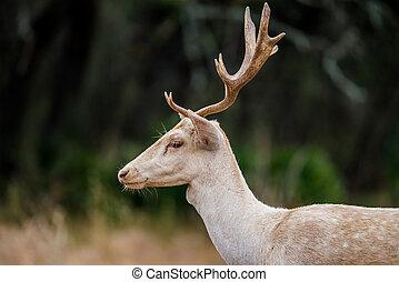 White Fallow Deer Close Up