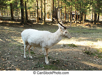 white fallow deer male