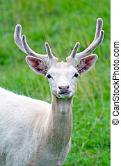 White Fallow Deer - Picture of white fallow deer in a...