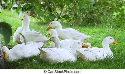 White farm ducks by the countryside road - Group of white...