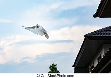 white feather pigeon flying against light blue sky with domestic residence home background