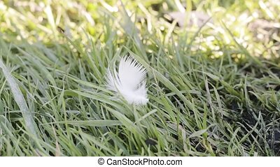 white feather wobbles on a green grass.