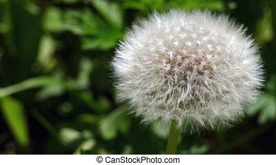 white feathers dandelion