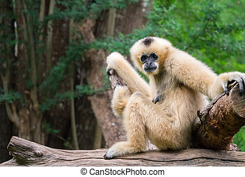 White female gibbon