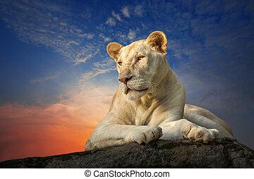White female lion sitting on a rock.