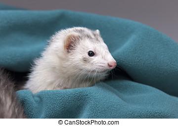 White ferret in green cloth.