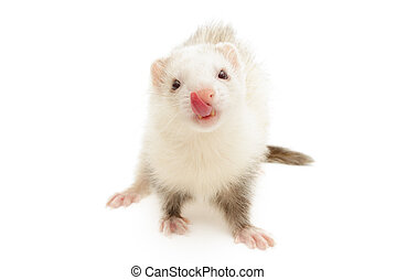 White Ferret - Closeup of a white ferret isolated in front...