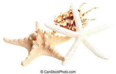 White finger starfish and seashells on white