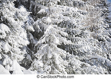 White firs in winter