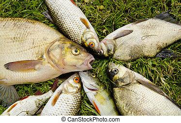 White fish catch on grass. Bream roach perch