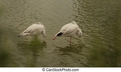 White flamingo peels beak on the river bank