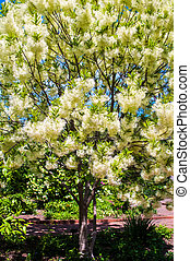 White, fleecy blooms hang on the branches of fringe tree -...