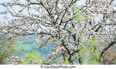 White flower blossoming cherry tree