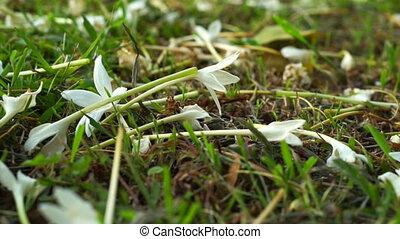 white flower carpet on grass field - Video of white flower...