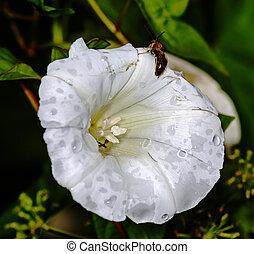 White flower Convolvulus arvensis in the garden